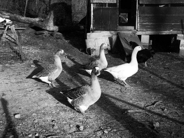 The geese